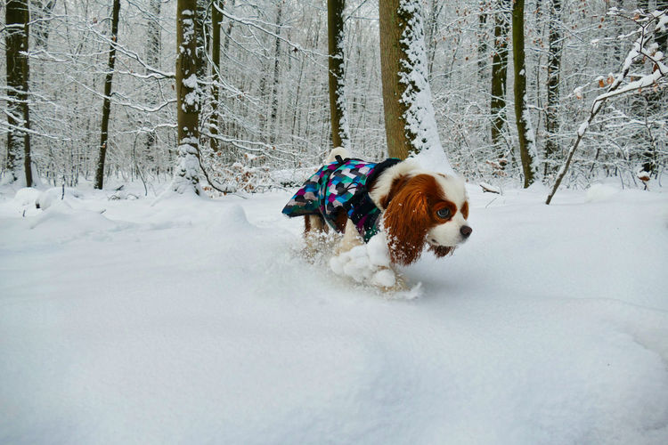 Cavalier king charles spaniel dog dressed in winter clothing walking in the snow