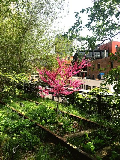 Pink tree With ❤️ T New York City Highline Park Beauty In Nature Plant Tree Nature Growth Day No People Outdoors Grass Green Color Sunlight Sky City