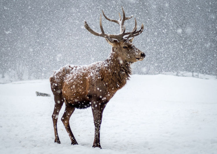 View of deer standing on snow covered land