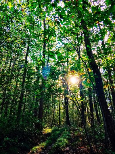 Into the Wood II Tree Growth Nature Beauty In Nature No People Sun Outdoors Low Angle View Tranquil Scene Branch Tranquility Green Color Sunlight Hanging Scenics Tree Trunk Day EyeEmNewHere EyeEm Nature Lover