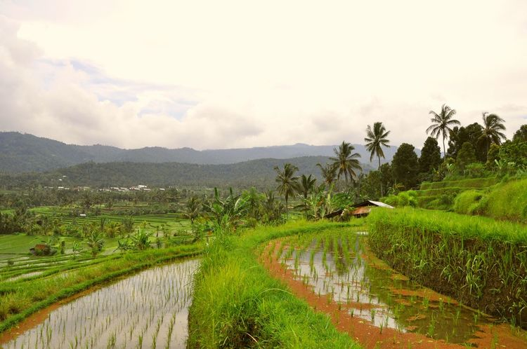 Stunning view over a indonesian rice field Rice Field Rice Paddy Travel Natural Beauty Indonesian Culture Relaxing Moments Ingredients Bali, Indonesia INDONESIA Natural Ingredients Eating Ingredients Rice Bali Nature Nature At Its Best Rice Fields  Rice Terraces Travel Destinations Nature Photography Natural Pattern Amazing Destination Traveling