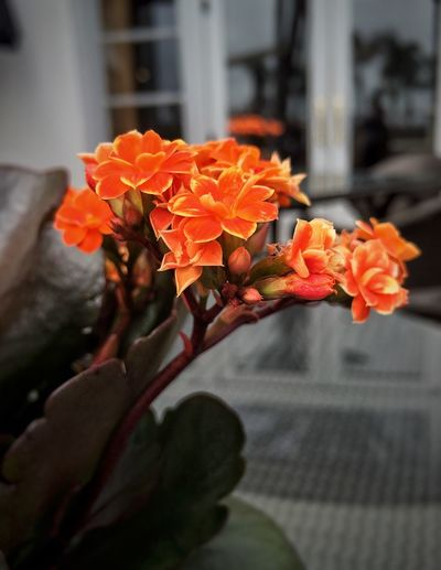 Potted plant sporting the orange. Flower Fragility Beauty In Nature Orange Color Nature Petal Freshness Blooming Growth Kalamchoe Close-up Plant Day Outdoors Pollen No People Potted Plant House Plant