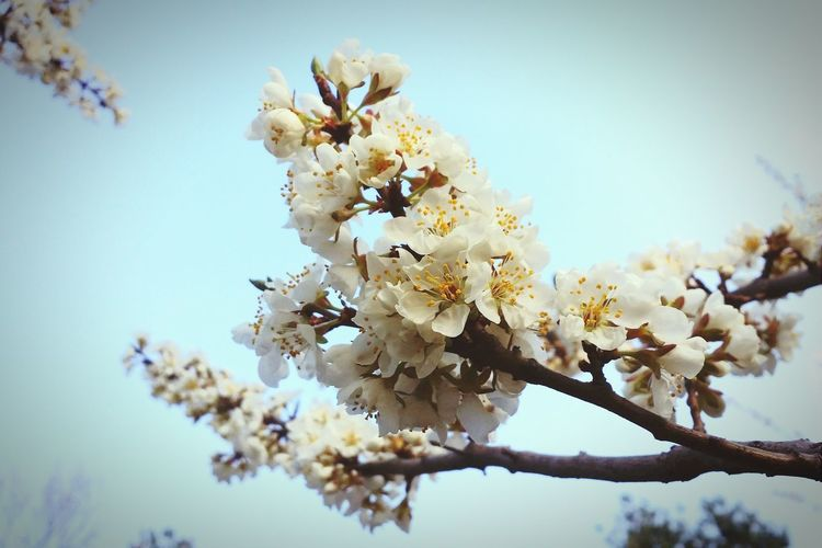 Petty Pretty Flowers Flowers The Spring Is Coming Here Comes The Spring Taking Photos Flower Collection Cherry Blossoms Hugging A Tree Sky And Clouds