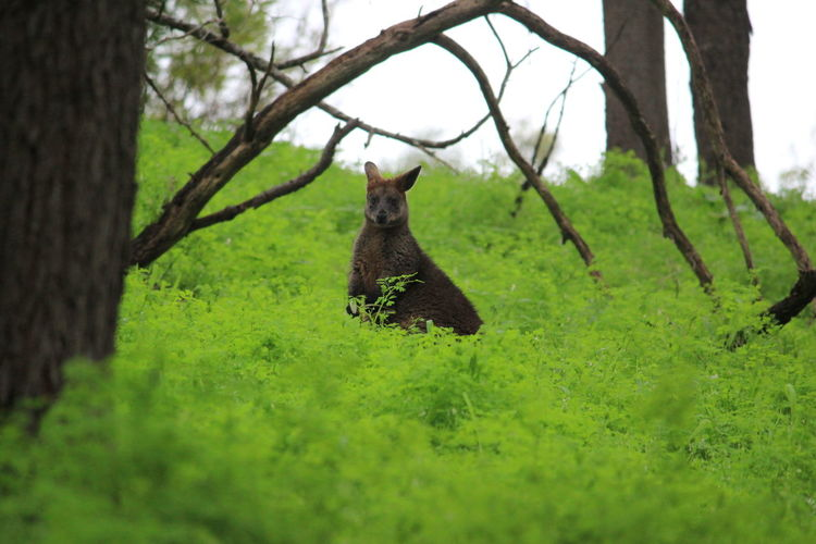 Wallaby amidst plants on field