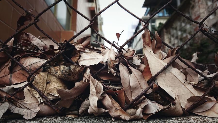 Dried Dried Leavez Withered  Withered Beauty Brownish Over The Fence Autumn Hong Kong Fence Beyond The Wall Sky Destruction Safety Close-up Maple Leaf Fallen Leaf Autumn Collection Fallen Chainlink Fence Leaves