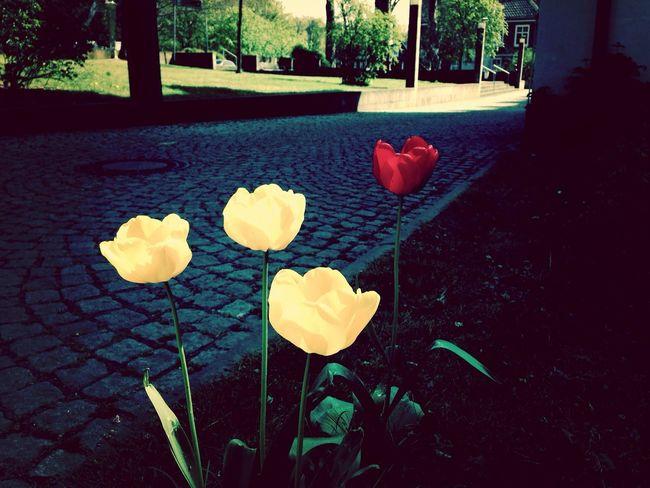 Tulips Enjoying Life Taking Photos Schnappschüsse