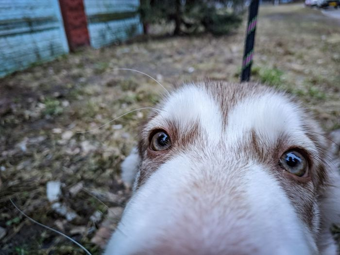 View Cute View Dog View Looking At Camera Mobile Photography Composition Perspective Personal Perspective Walking Curious Curious Dog Pets Portrait Dog Looking At Camera Puppy Close-up Siberian Husky Animal Eye Animal Face Animal Nose Canine Pet Equipment Purebred Dog Animal Hair Snout Yellow Eyes Sled Dog Pet Leash Pet Collar