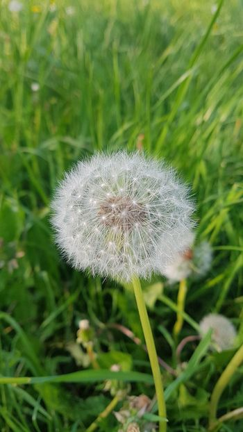 Beauty In Nature Close-up Dandelion Dandelion Seed Field Flower Flower Head Flowering Plant Fragility Freshness Grass Green Color Growth Inflorescence Land Nature No People Outdoors Plant Positive Emotion Softness Spring Vulnerability  White Color