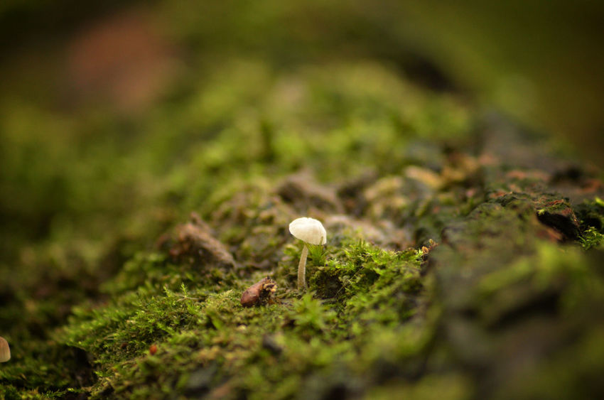 Woods Beauty In Nature Close-up Day Fairy Inkcap Field Fragility Freshness Fungus Growth Moss Mushroom Nature No People Outdoors Toadstool Macro Macro Photography Tiny Habitat Wild Growing