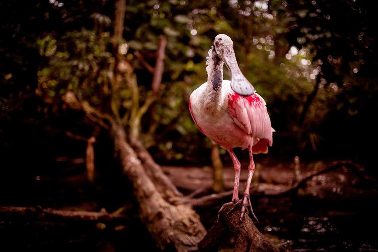 Bird Pink Color