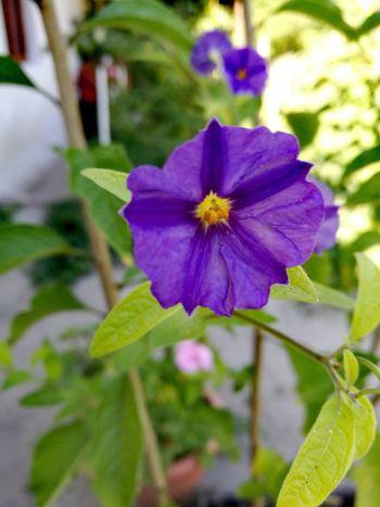 Flower Head Flower Petal Purple Close-up Blooming Plant
