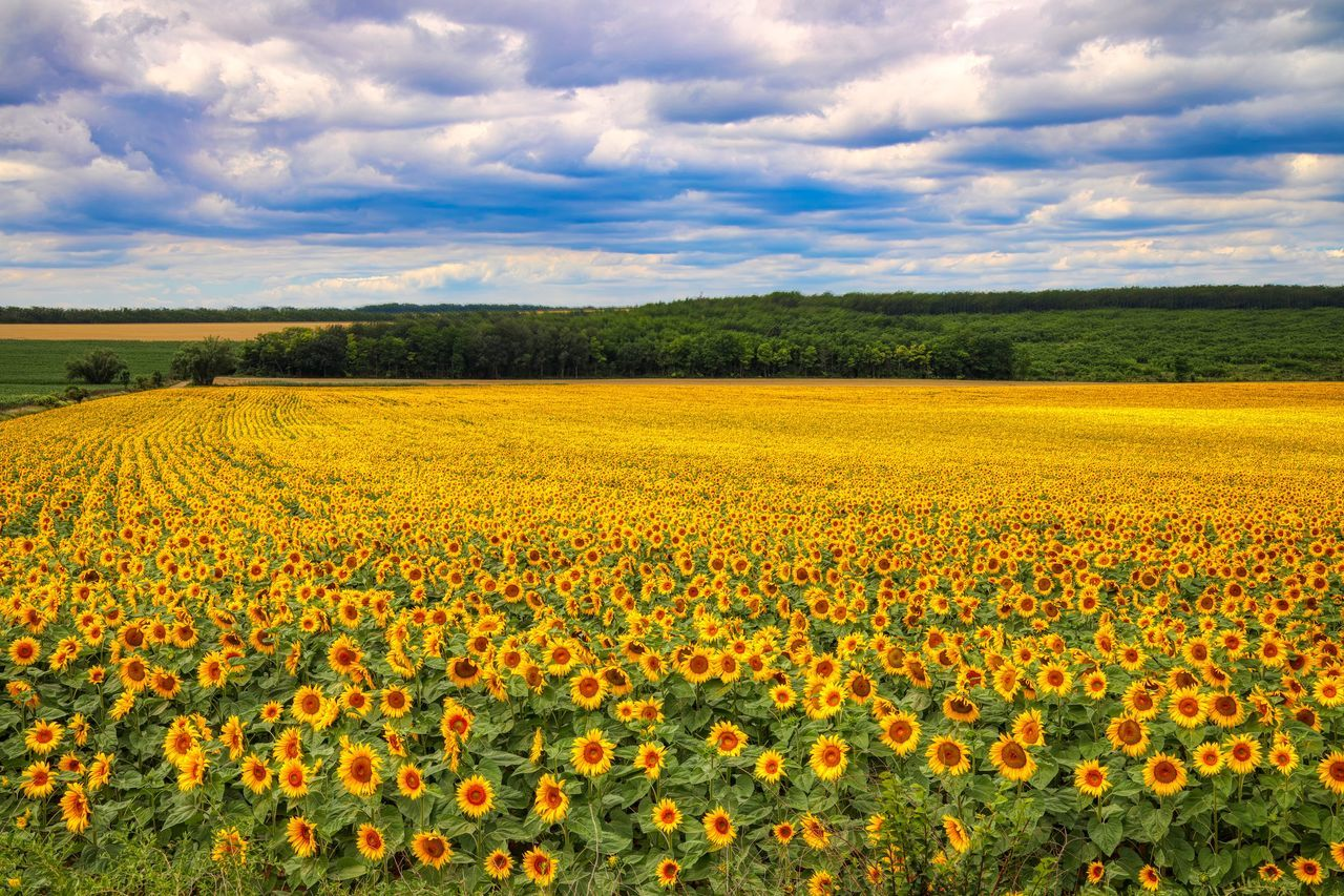 SCENIC VIEW OF YELLOW FLOWERS GROWING ON FIELD AGAINST SKY