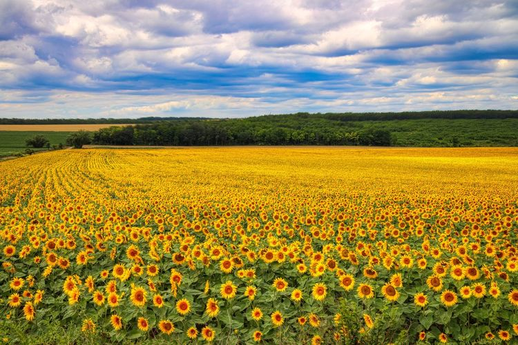Scenic view of yellow flower field against cloudy sky