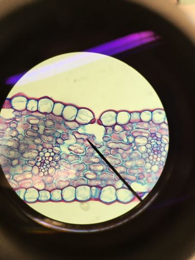 Stomata from a leaf Science Lab Biology Plant Cell Stomata Microscope View Microscope Microscope Photo No People Indoors  Close-up Day First Eyeem Photo