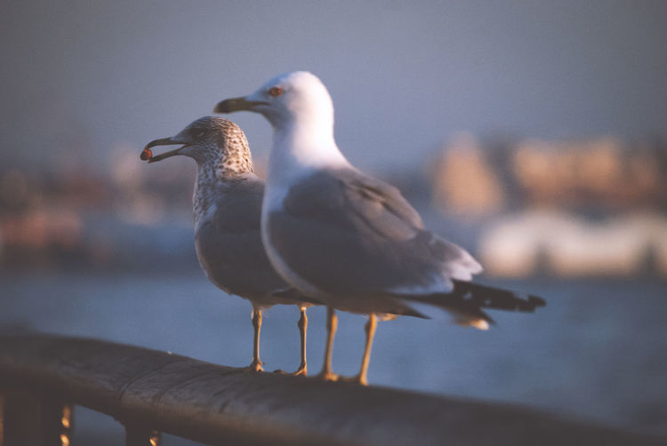 Bird Animal Themes Animal Vertebrate Animals In The Wild Animal Wildlife Group Of Animals Seagull Water Focus On Foreground Perching Sea Nature Two Animals No People Day Sea Bird Selective Focus Railing