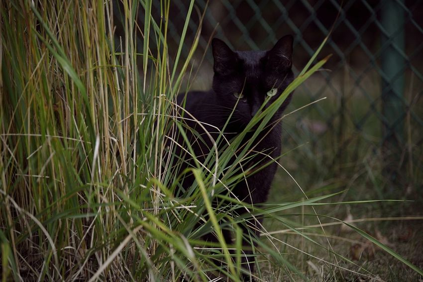 A black cat munches on grass outside in the yard Black Cat Outside Cats Pets Domestic Cat Feline Mammal Vertebrate Outdoors Daytime Portrait Meow Snack Food Grass Animal Plant Nature Plant Botany Eating Feather  Animal Themes No People Yard EyeEmNewHere
