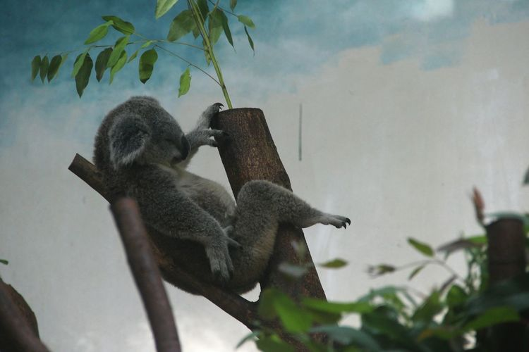 Low angle view of koala sitting on branch at zoo