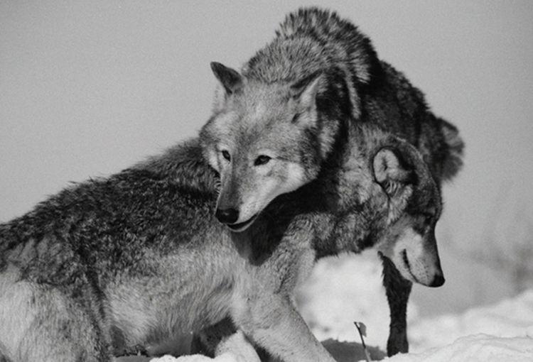 Documentary Taking Photos Monochromereportage photography wolf wildlife
