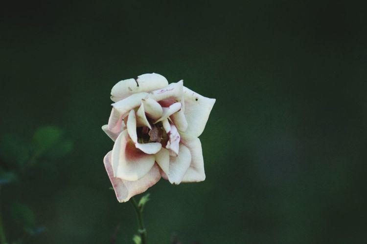 Flower Head Flower Petal Rose - Flower Orchid Peony  Close-up Plant