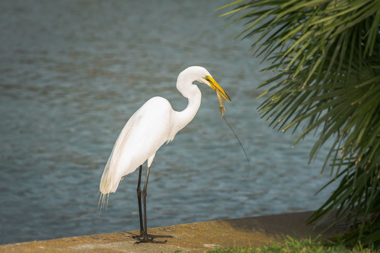 Great Egret Holding Shrimp In Beak While Perching At Lakeshore