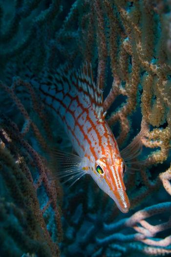 Hawkfish Longnohawkfish Animal Animal Themes Animal Wildlife Animals In The Wild Fish Invertebrate Marine Nature Sea Sea Life Swimming UnderSea Underwater Water