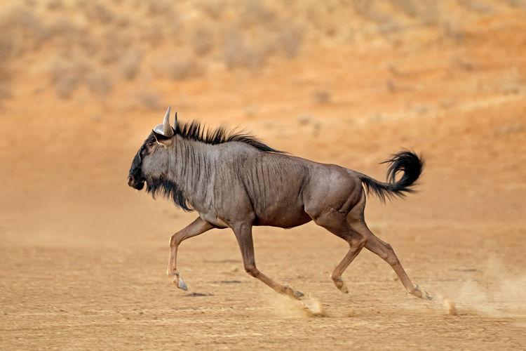 Side view of wildebeest running on field