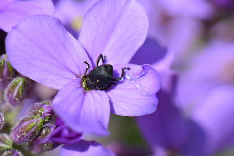 Headlong Animal Animal Themes Animal Wildlife Beauty In Nature Beetle On Summer Lilac Close-up Flower Flower Head Flowering Plant Fragility Freshness Growth Hesperis Matronalis Inflorescence Insect Invertebrate One Animal Petal Plant Pollen Pollination Purple Summer Lilac Vulnerability