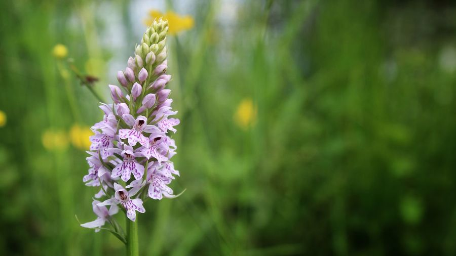 Spotted wild orchid Tadaa Community EyeEm Best Shots Eye4photography  EyeEm Gallery Wildflower Orchid Flower Fragility Nature Beauty In Nature Focus On Foreground Freshness Petal Close-up Outdoors Flower Head Plant Growth Day No People Purple Blooming