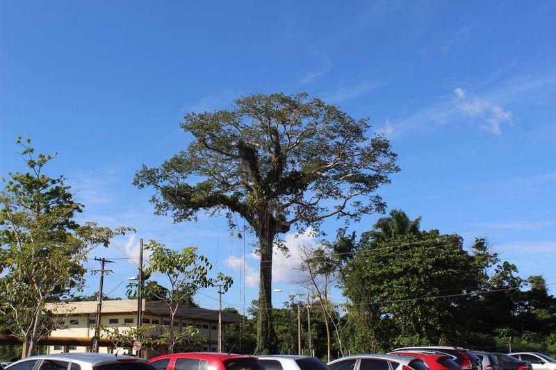 Arvore Peace Nature Natureza Amazonia Belém Nofilter VidaSimples Vidaleve Tree Plant Sky Nature Car No People Day Blue City Cloud - Sky Street Outdoors Architecture Growth Low Angle View
