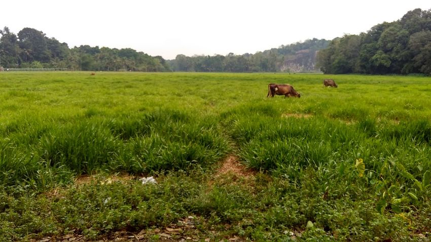 Beauty In Nature Buffalo Cow Domestic Animals Field Grass Green Landscape Mountain Nature Nofilter Sanku Photography Sky And Clouds