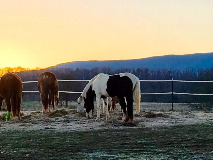 The Week On EyeEm Animal Themes Domestic Animals Mammal Sunset Landscape Livestock Cow Nature Field No People Outdoors Clear Sky Standing Beauty In Nature Mountain Farm Animal Sky Grass Day Horses Early Morning Tennessee Live Life