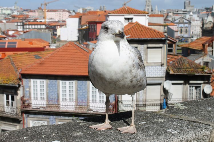 Animal Themes Animal Wildlife Animals In The Wild Architecture Bird Building Exterior Built Structure Close-up Day Frainf Full Length House No People One Animal Oporto Outdoors Perching Portugal Roof