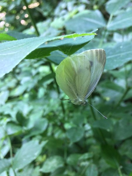 This butterfly is a feast for a spider now Nature Close-up Fragility Green Color Green Insect Outdoors Beauty In Nature Check This Out Nature Taking Photos (null)No Filter