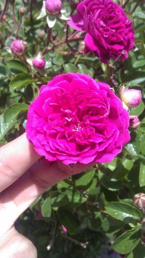 Flowers mohammadi Flower