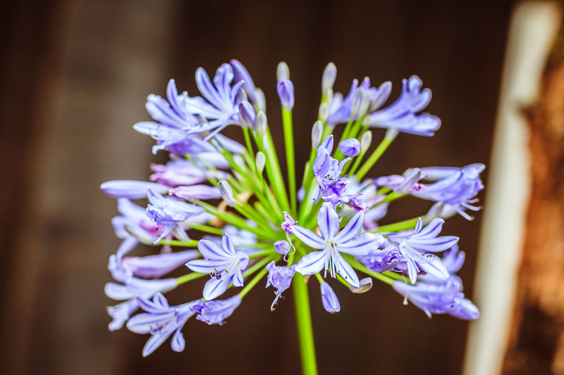 African Lily Kenya Africa Beauty In Nature Blooming Close Up Close-up Day Flower Flower Head Flowers Focus On Foreground Fragility Freshness Growth Hyacinth Nature No People Outdoors Petal Plant Purple Purple Flower EyeEmNewHere An Eye For Travel