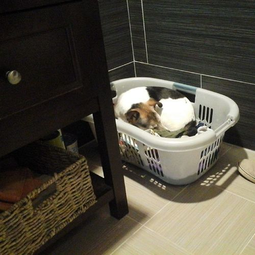 I couldn't find Tweek for about 20 minutes ... then I found this when I went into our bathroom. Howareyousocute Dogstagram Tweekthepermanentfoster Icanthelpfallinginlovewithyou