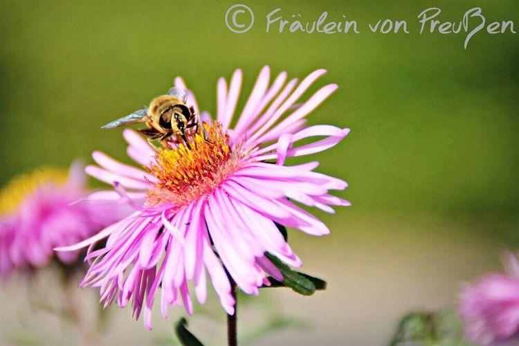 Nature EyeEm Nature Lover Nature Photography Beautiful Nature Naturelovers Nature_perfection Bees Biene 🐝 Bienemaya FräuleinvonPreußenPhotography