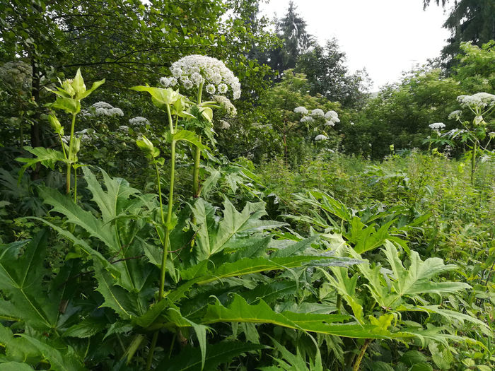 Agriculture Day Field Freshness Giant Hogweed Green Color Growth Habitat Hercules Herb Herkulesstaude Leaf Mantegazzianum Nature No People Outdoors Photo Toxic Plant Tree