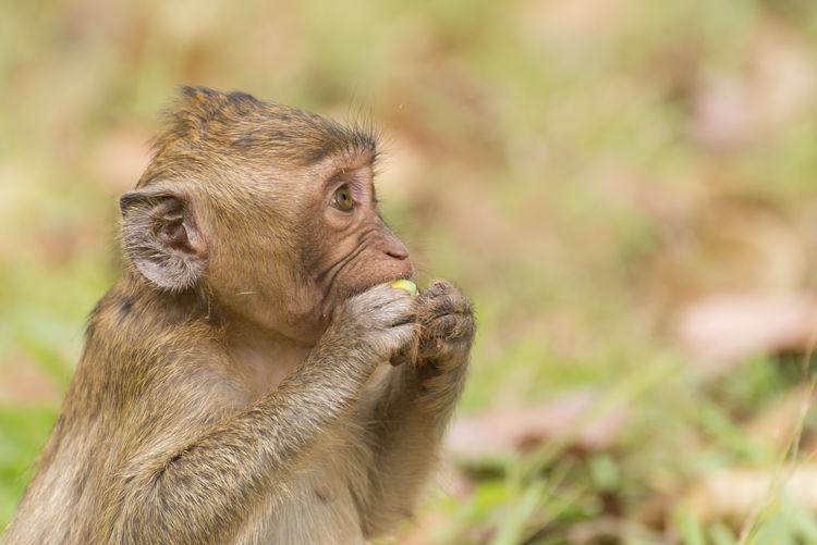 Close-up of monkey eating food