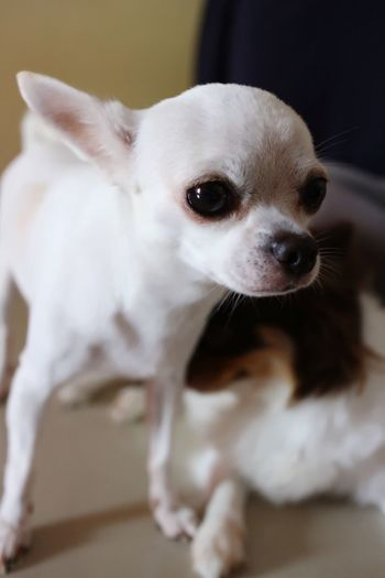 Pets Domestic Animals Dog Mammal Animal Themes One Animal Close-up Looking At Camera Portrait Indoors  Home Interior No People Day