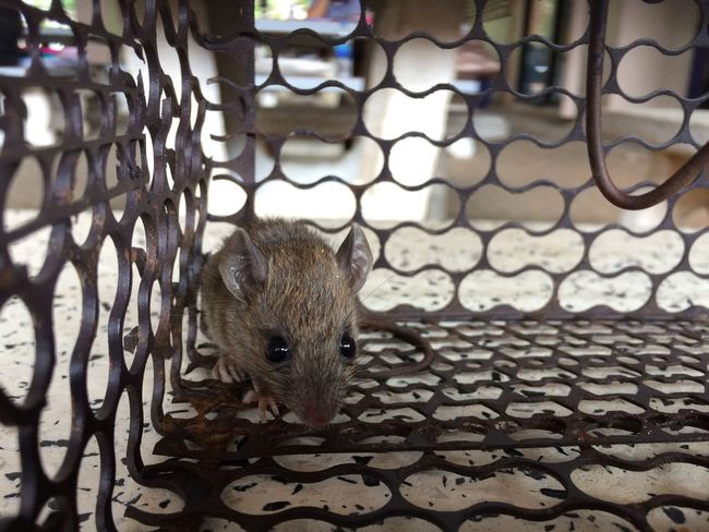 Baby rat in cage or mouse trap One Animal Animal Themes Mammal Cage Animal Wildlife Day Animals In The Wild No People Outdoors Hedgehog Nature Close-up Rat Mouse Trap Cage