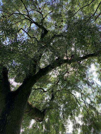 Tre Tree Plant