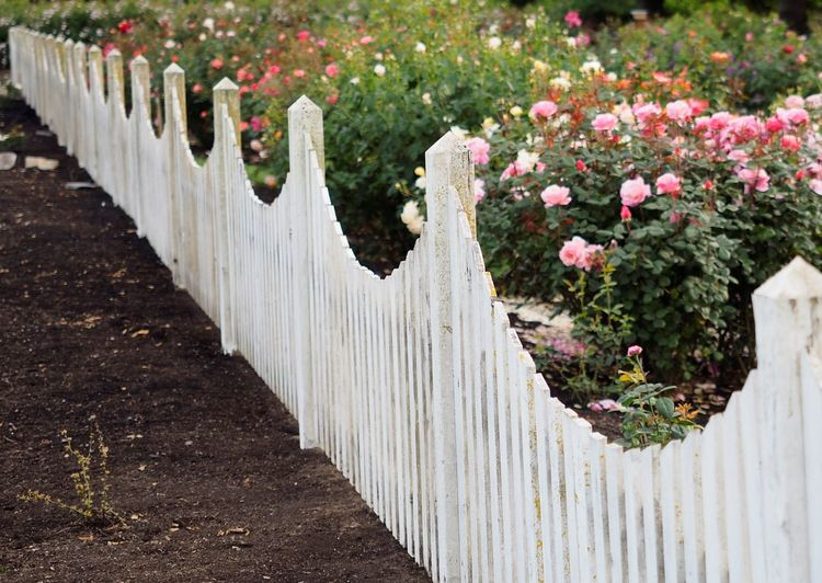 Beauty In Nature Day Fence Flower Flowerbed Nature No People Outdoors Plant Roses Roses🌹 White