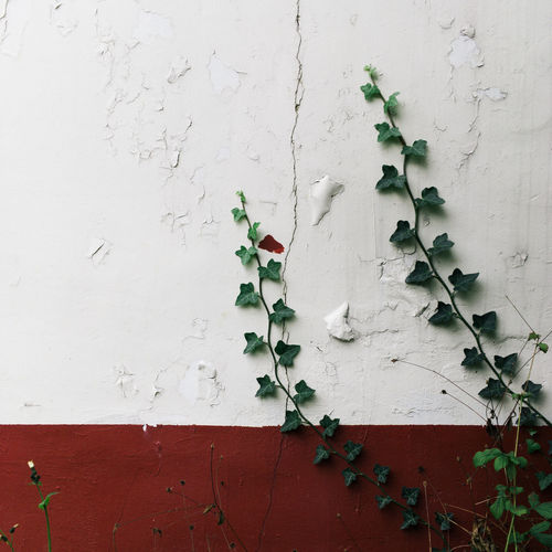 Backgrounds Close-up Creeper Plant Freshness Green Growth Leaf Nature No People Outdoors Plant Red Wall White