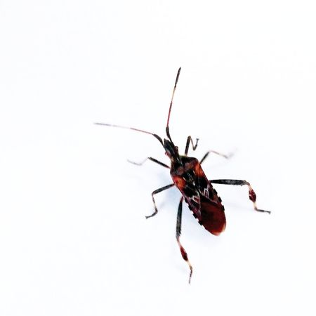 White Background Full Length Red Insect Animal Themes Close-up Mosquito Chachoengsao Invertebrate Animal Antenna Grasshopper Slug