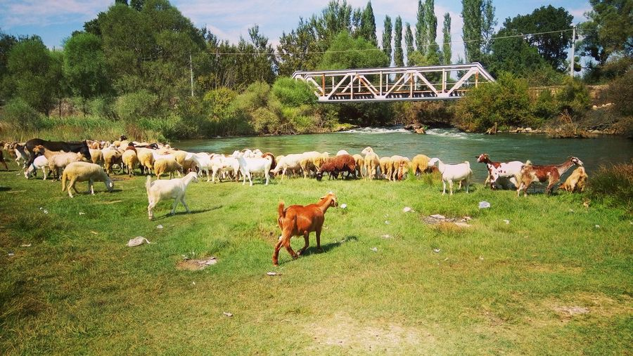 Goats Water Herd Grass Animal Themes Rural Scene Nature The Modern Professional