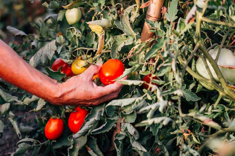 Organic tomatoes Agriculture Farmer Food Food And Drink Freshness Fruit Growth Hand Healthy Eating Holding Human Hand Leaf Nature Organic Organic Farm Organic Food Outdoors Plant Red Red Tomatoes Ripe Tomato Tomatoes Vegetable Wellbeing