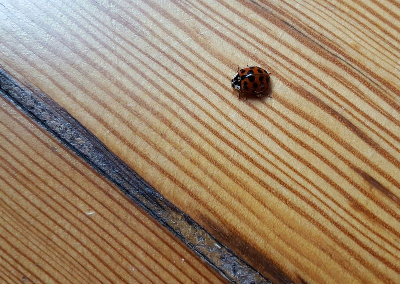 Ladybug Ladybird Lucky Lucky Lady Bug Indoors  Insect Textured  Wood Floor No People Animal Themes Close-up Day