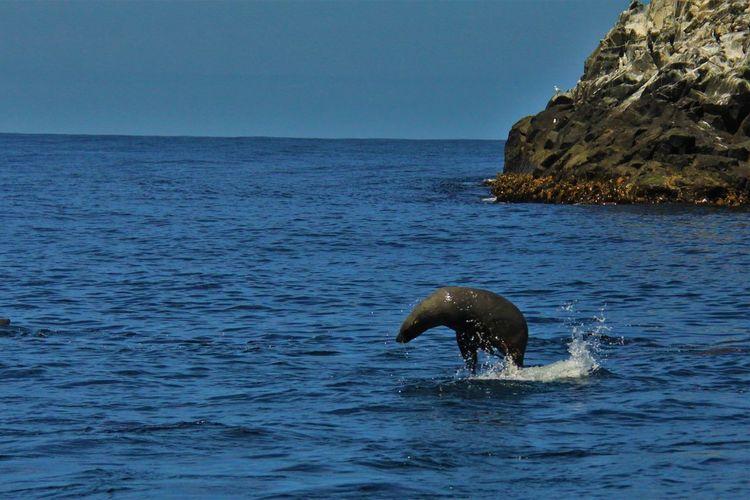 Hobart Sea Lion