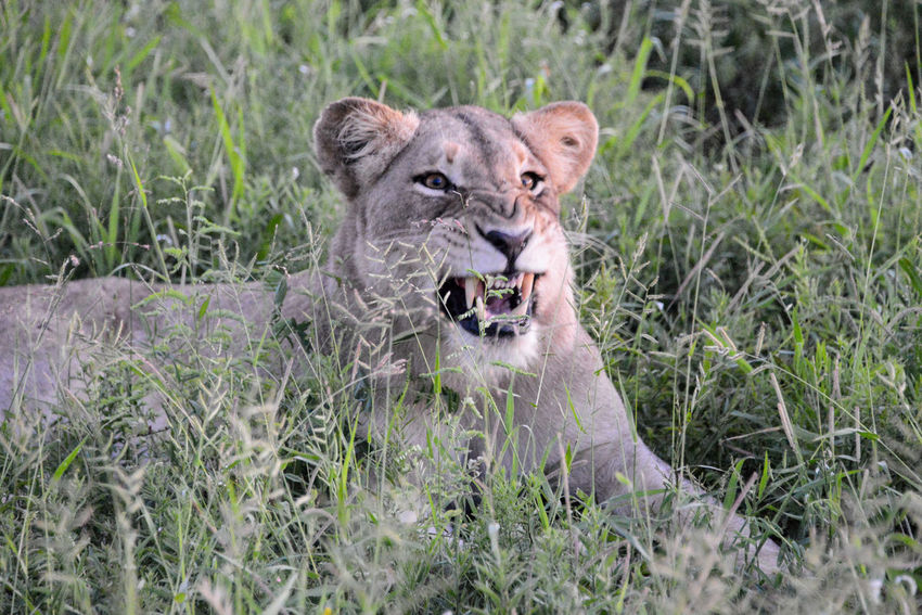 Safari in Hlane Royal National Park in Swaziland. Hlane Hlane Royal National Park Lion National Park Swaziland  Wildlife & Nature Animal Animal Wildlife Animals In The Wild Lion - Feline Lioness Mouth Open Nature One Animal Outdoors Safari Safari Animals